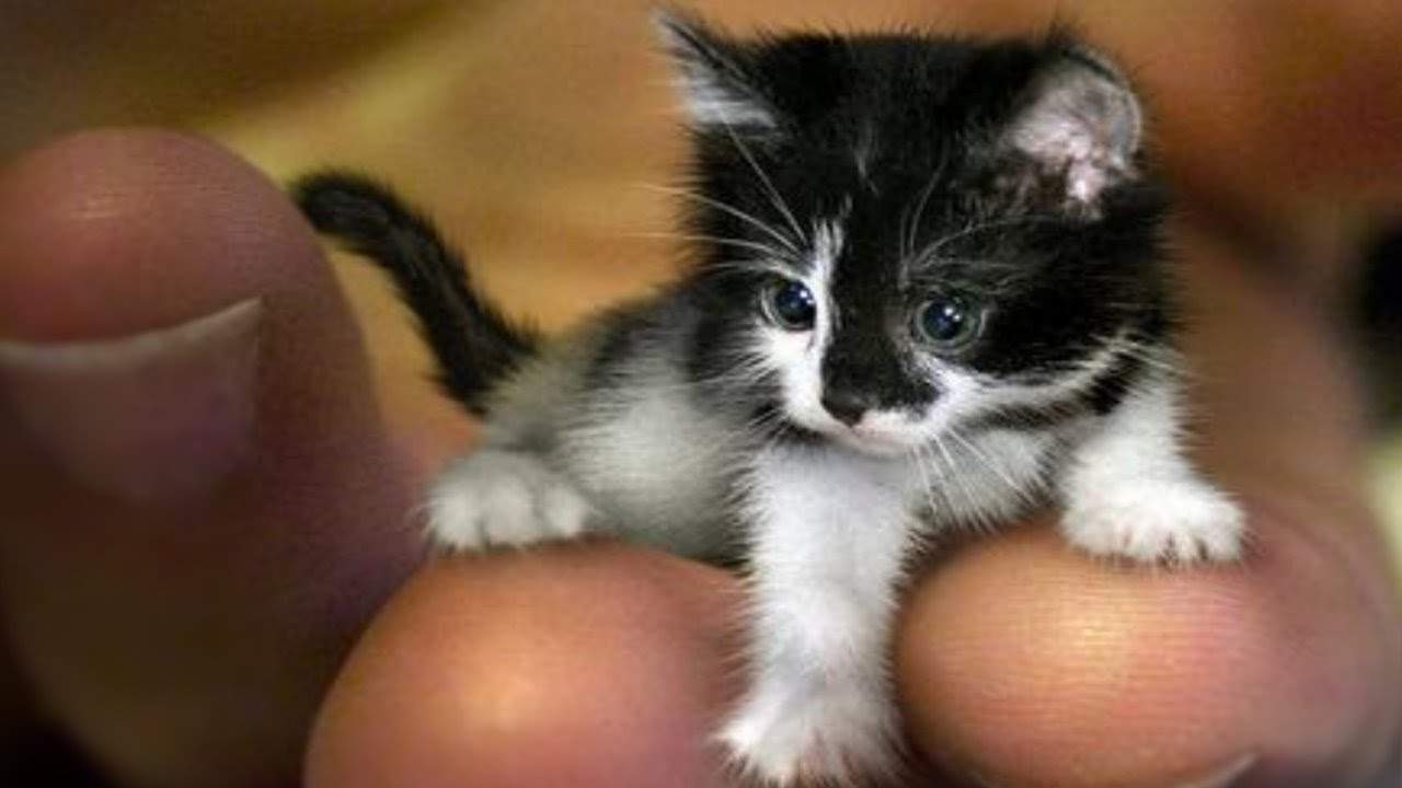 Världens minsta katt