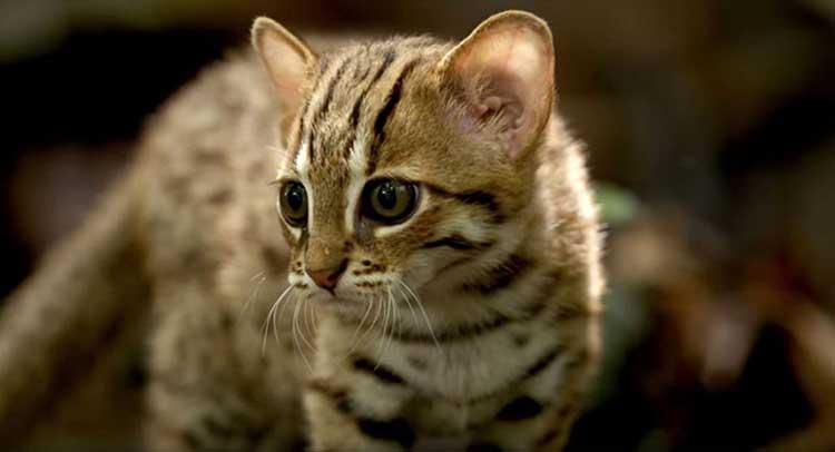 Världens minsta kattdjur