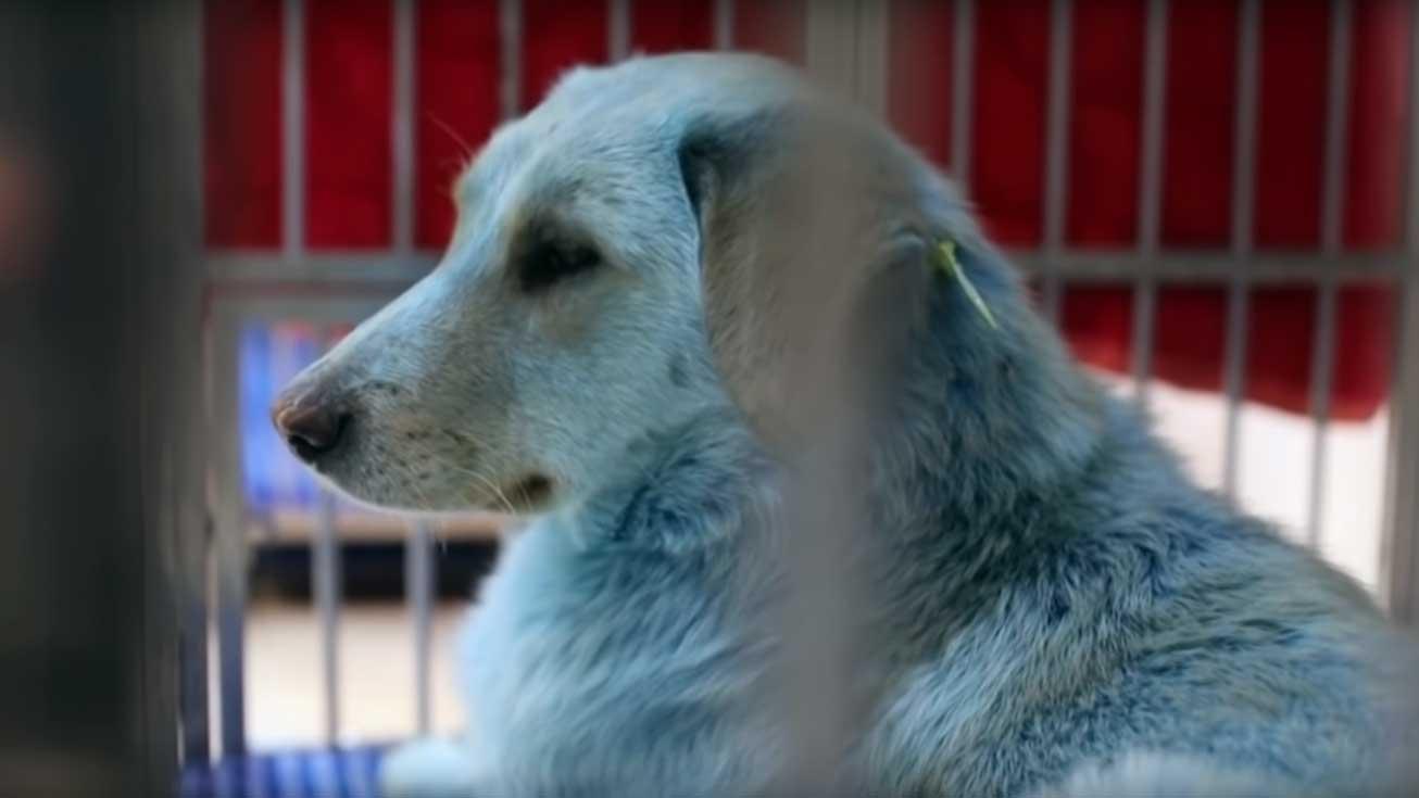 Hundar med blå päls